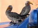 Kalahari: Little Birds