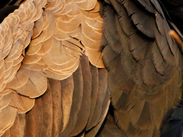 A close-up of the feathers ©WMB/notesfromafrica.wordpress.com